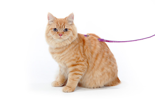 CAT 01 PE0012 01 © Kimball Stock British Longhair With Pink Leash Sitting On White Seamless