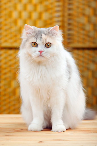 CAT 01 PE0013 01 © Kimball Stock Portrait Of British Longhair Sitting On Wood Floor