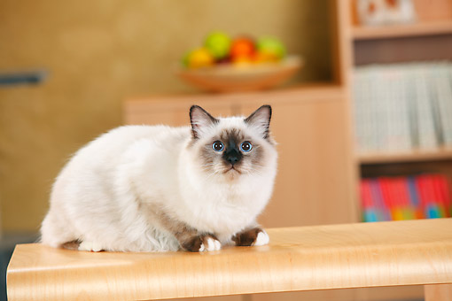 CAT 01 PE0014 01 © Kimball Stock Birman Sitting On Kitchen Counter
