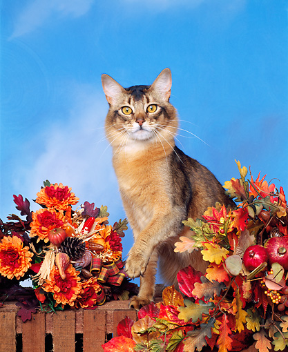 CAT 01 RK0015 09 © Kimball Stock Ruddy Somali Sitting By Fall Arrangement