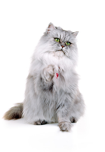 CAT 01 RK0057 18 © Kimball Stock Silver Shaded Persian With Red Collar Sitting One Paw Reaching Out White Seamless Background