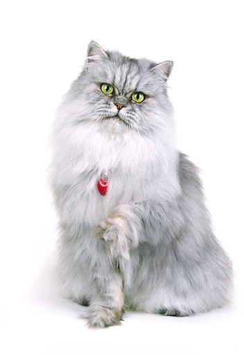CAT 01 RK0057 21 © Kimball Stock Silver Shaded Persian With Red Collar Sitting One Paw Reaching Out White Seamless Background