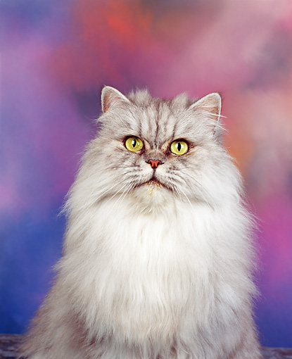 CAT 01 RK0086 01 © Kimball Stock Close Up Of Silver Shaded Persian Sitting Facing Camera Mottled Background