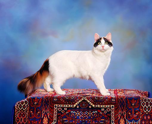 calico - Animal Stock Photos - Kimballstock