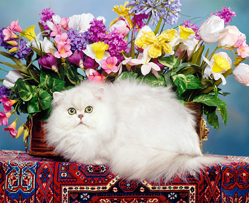 CAT 01 RK0221 02 © Kimball Stock Persian Chinchilla By Flowers