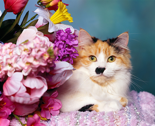 CAT 01 RK0223 05 © Kimball Stock Head Shot Of Calico Cat Laying By Flowers