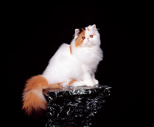 CAT 01 RK0265 07 © Kimball Stock Persian Calico Van Sitting On Pedestal Studio