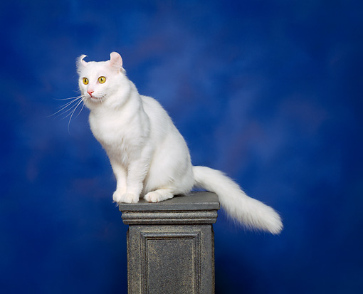 CAT 01 RK0270 02 © Kimball Stock American Curl White Sitting On Pedestal Studio