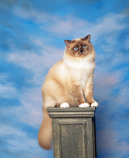 CAT 01 RK0273 05 © Kimball Stock Birman Blue Point Sitting On Pedestal Studio