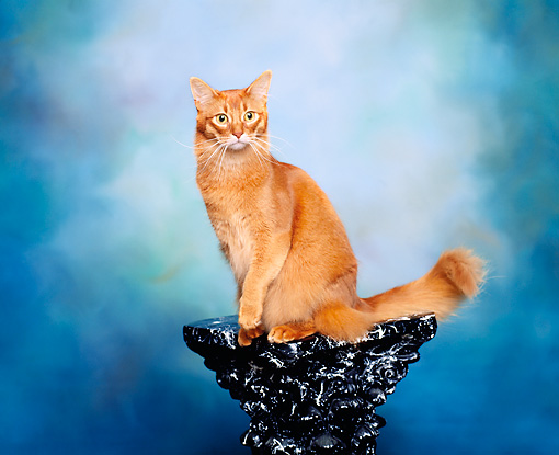 CAT 01 RK0278 08 © Kimball Stock Somali Sorrel Sitting On Pedestal Studio