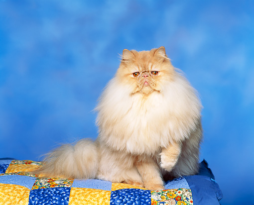 CAT 01 RK0303 07 © Kimball Stock Cream Tabby Persian Sitting On Blue Quilt Facing Camera Blue Background