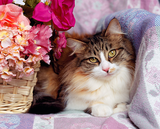CAT 01 RK0315 02 © Kimball Stock Head Shot Of Calico Laying By Basket Of Flowers
