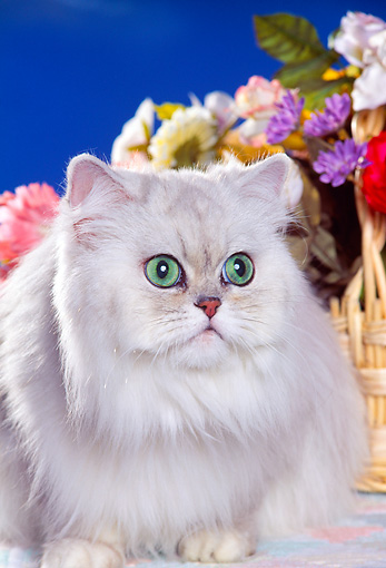 CAT 01 RK0336 16 © Kimball Stock Head Shot Of Shaded Silver Persian By Flowers
