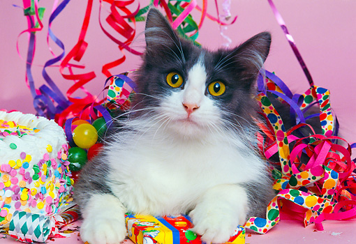 CAT 01 RK0403 09 © Kimball Stock Head Shot Of Gray And White Cat Laying With Party Decorations Pink Seamless Studio