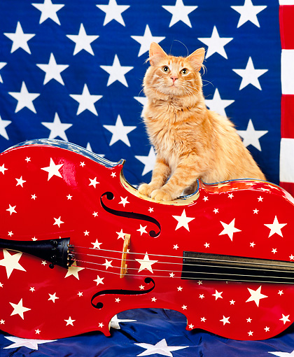 CAT 01 RK0413 06 © Kimball Stock Orange American Longhair Standing On Top Of Cello American Flag Background