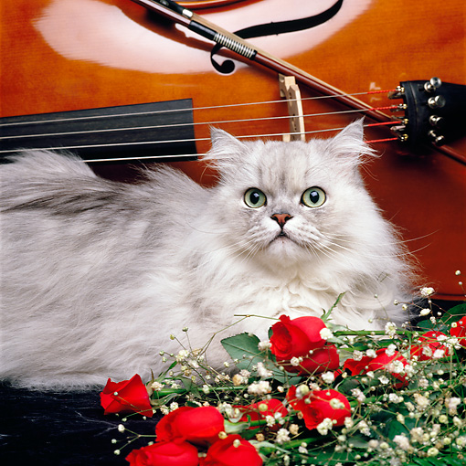 CAT 01 RK0442 03 © Kimball Stock Shaded Silver Persian Laying By Red Roses And Cello