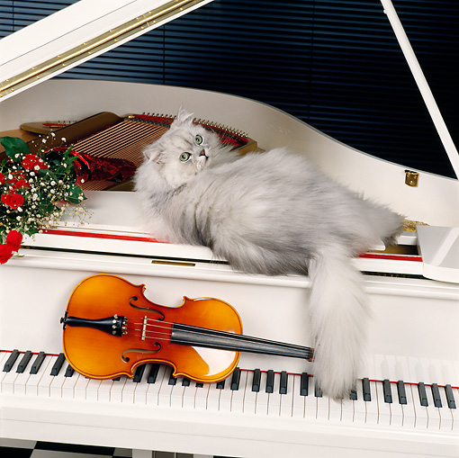 CAT 01 RK0443 11 © Kimball Stock Persian Shaded Silver Laying On White Piano Next To Red Roses And Violin