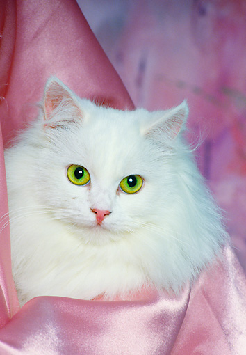 CAT 01 RK0461 21 © Kimball Stock Head Shot Of Persian White Laying On Pink Satin Studio