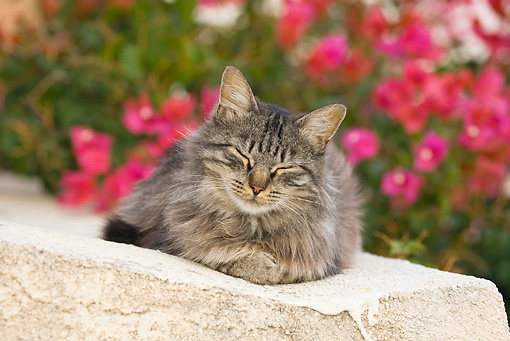 CAT 01 WF0001 01 © Kimball Stock House Cat Resting On White Cement Wall By Pink Flowers