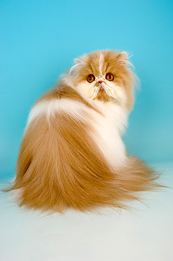 CAT 01 AL0001 01 © Kimball Stock Portrait Of Persian Cat Cream And White Studio