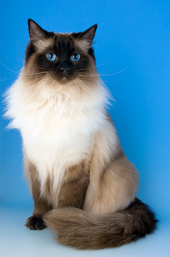 CAT 01 AL0004 01 © Kimball Stock Portrait Of Ragdoll Seal Colorpoint Studio