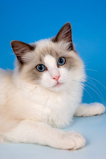 CAT 01 AL0007 01 © Kimball Stock Portrait Head Shot Of Ragdoll Bi Color Studio