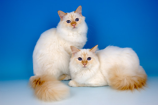 CAT 01 AL0012 01 © Kimball Stock Portrait Of Birman Red Cats Studio