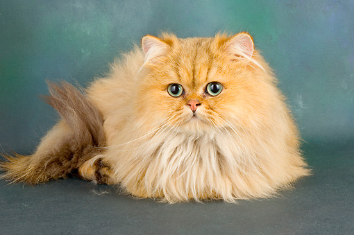 CAT 01 AL0013 01 © Kimball Stock Persian Golden Laying On Seamless Studio