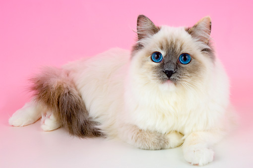 CAT 01 AL0014 01 © Kimball Stock Birman Blue Point Laying On Seamless Studio