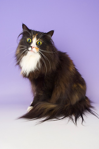 CAT 01 AL0015 01 © Kimball Stock Norwegian Forest Black Tortie And White Sitting On Seamless Studio