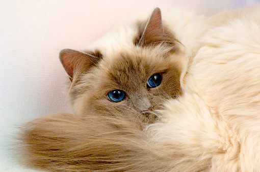 CAT 01 AL0017 01 © Kimball Stock Head Shot Of Birman Blue Point