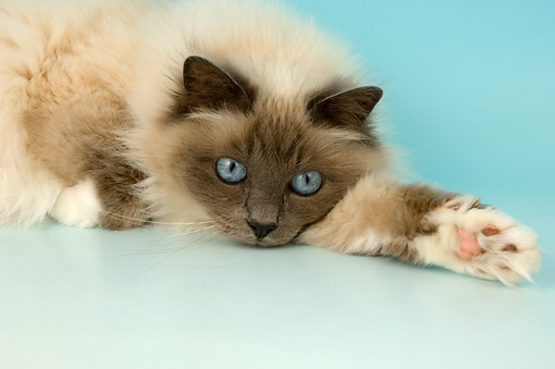 CAT 01 AL0020 01 © Kimball Stock Head Shot Of Birman Blue Point Laying On Seamless Studio