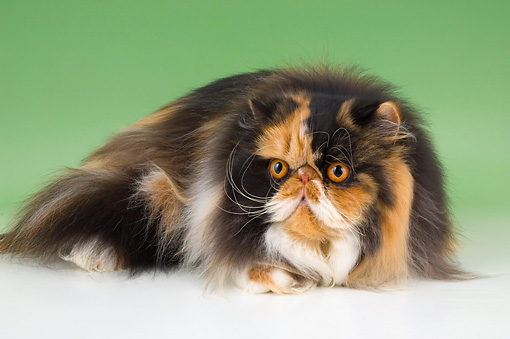 CAT 01 AL0021 01 © Kimball Stock Persian Tortie And White Laying On Seamless Studio