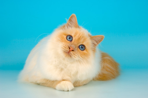 CAT 01 AL0022 01 © Kimball Stock Birman Cream Point Laying On Seamless Studio