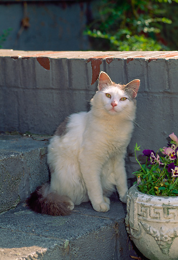 CAT 01 CE0001 01 © Kimball Stock White And Gray Long-haired Cat Sitting On Stone Step In Garden