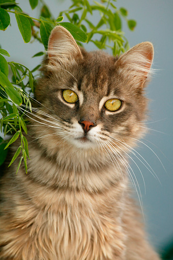 CAT 01 KH0011 01 © Kimball Stock Longhair Gray Tabby Greek Island Cat Sitting By Leaves