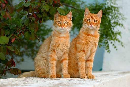 CAT 01 KH0018 01 © Kimball Stock Longhair Orange Tabby Greek Island Cats Sitting On Wall By Shrub