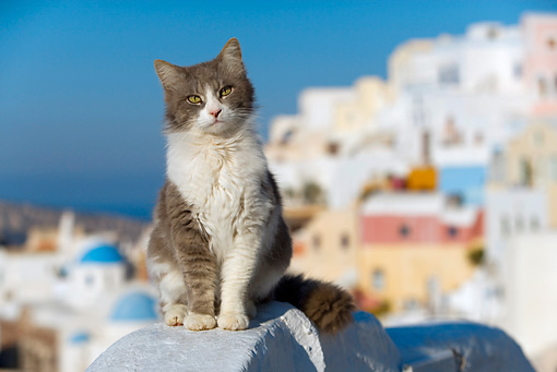 CAT 01 KH0019 01 © Kimball Stock Longhair Gray And White Greek Island Cat Sitting On White Wall City Background