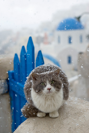 CAT 01 KH0020 01 © Kimball Stock Longhair Gray And White Greek Island Cat Sitting On Wall By Blue Gate In Snow