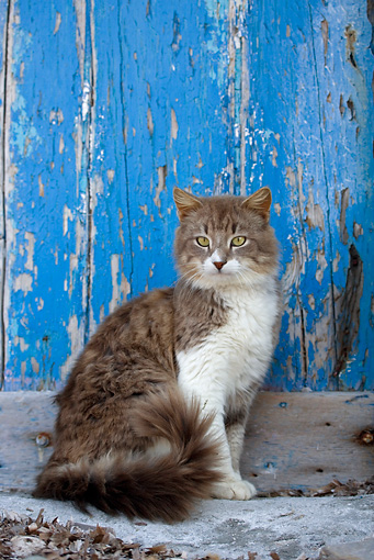 CAT 01 KH0021 01 © Kimball Stock Longhair Gray And White Tabby Greek Island Cat Sitting By Blue Wooden Door