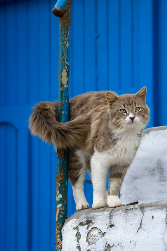 CAT 01 KH0023 01 © Kimball Stock Longhair Gray And White Greek Island Cat Standing On White Stairs Tail Wrapped Around Pole