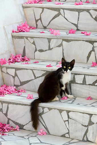 CAT 01 KH0033 01 © Kimball Stock Black And White Greek Island Cat Sitting On Stone Stairs By Pink Flowers