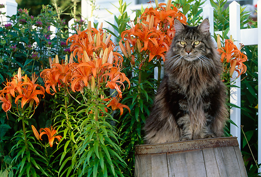 CAT 01 LS0003 01 © Kimball Stock Gray Maine Coon Cat Sitting On Barrel By Orange Flowers