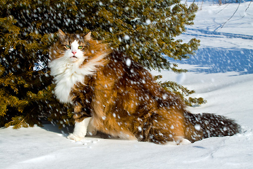 CAT 01 LS0004 01 © Kimball Stock Norwegian Forest Cat Sitting By Pine Tree In Snow