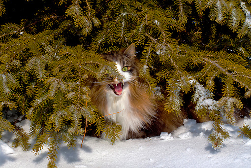 CAT 01 LS0005 01 © Kimball Stock Norwegian Forest Cat Sitting Under Pine Tree In Snow Meowing
