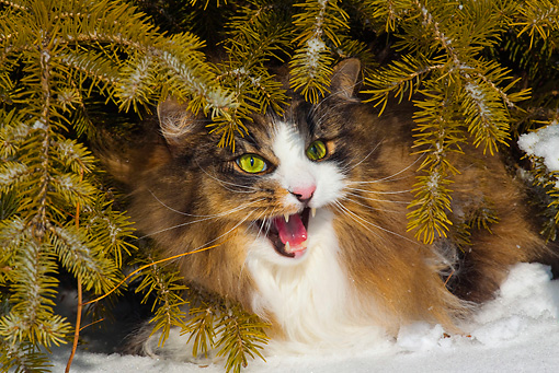 CAT 01 LS0006 01 © Kimball Stock Norwegian Forest Cat Sitting Under Pine Tree In Snow Meowing