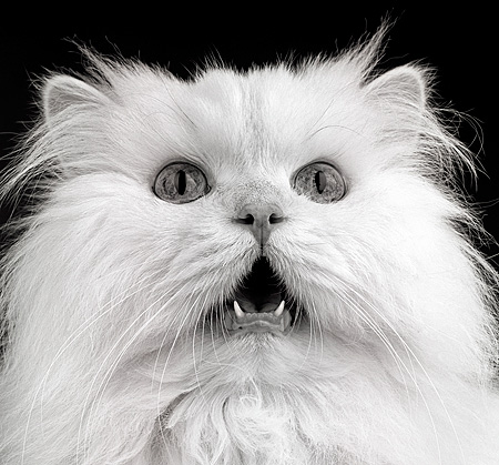 CAT 01 MR0001 01 © Kimball Stock Head Shot Of White Persian Mouth Open