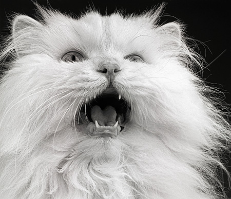 CAT 01 MR0005 01 © Kimball Stock Humorous Head Shot Of White Persian Mouth Open