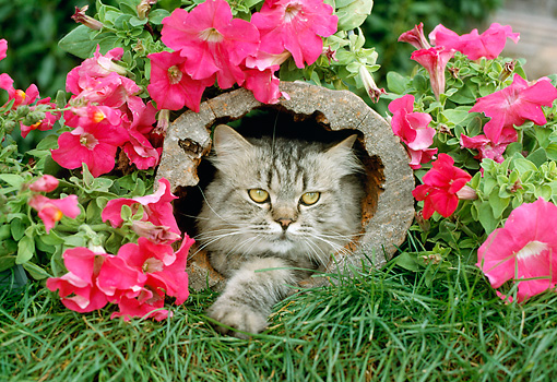 CAT 01 RC0005 01 © Kimball Stock Gray Persian Cat Laying In Log In Garden By Red Flowers