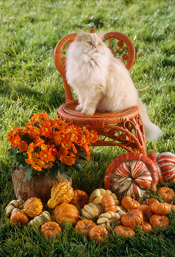 CAT 01 RC0006 01 © Kimball Stock Red Persian Cat Sitting On Red Wicker Chair In Garden By Gourds And Flowers